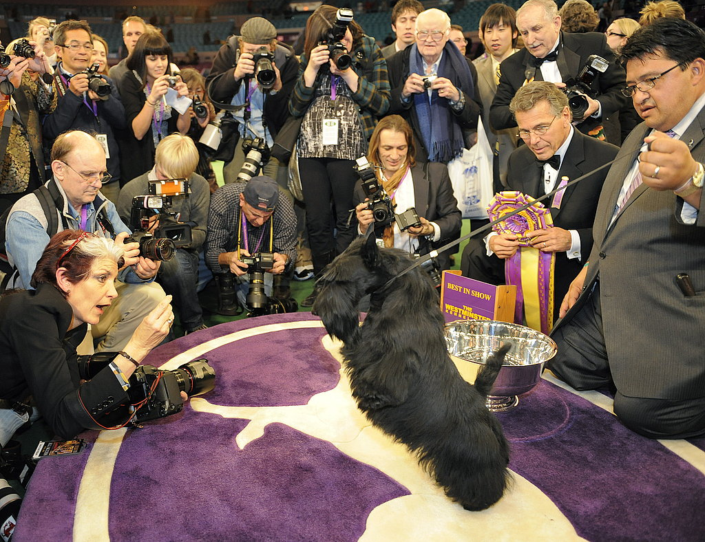 Sadie the Scottish Terrier Wins Westminster
