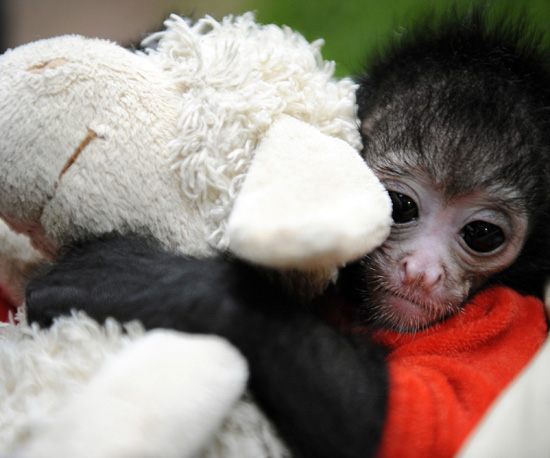 Spider Monkey Cuddles Stuffed Animal