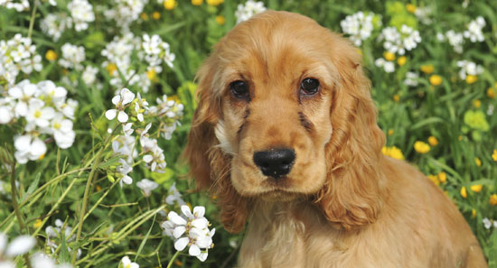 All About Cocker Spaniels