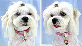 Dog Groom and Bride Pendants: Spoiled Sweet or Spoiled Rotten?