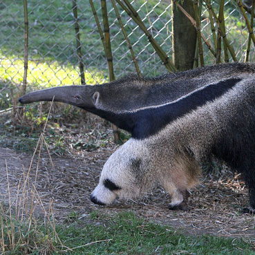 Baby Anteater at SF Zoo