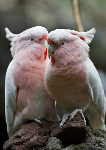 The Major Mitchell's cockatoo gives flamingos a run for their money as the world's pinkest birds.