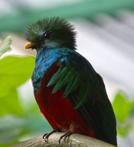 The resplendent quetzal is Guatemala's national bird and appears on the country's flag and coat of arms.