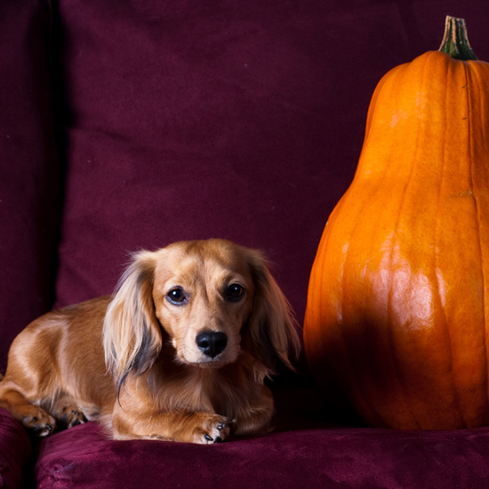 Dogs Posed With Pumpkins