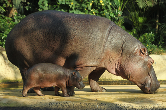 Baby Hippo Hangs With Proud Mom
