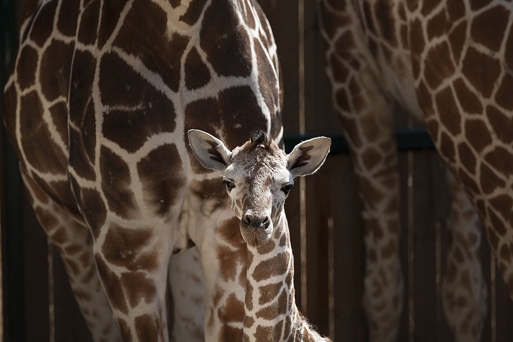 Giraffe babies are ready to run up to 10 hours with their mothers just after birth.
