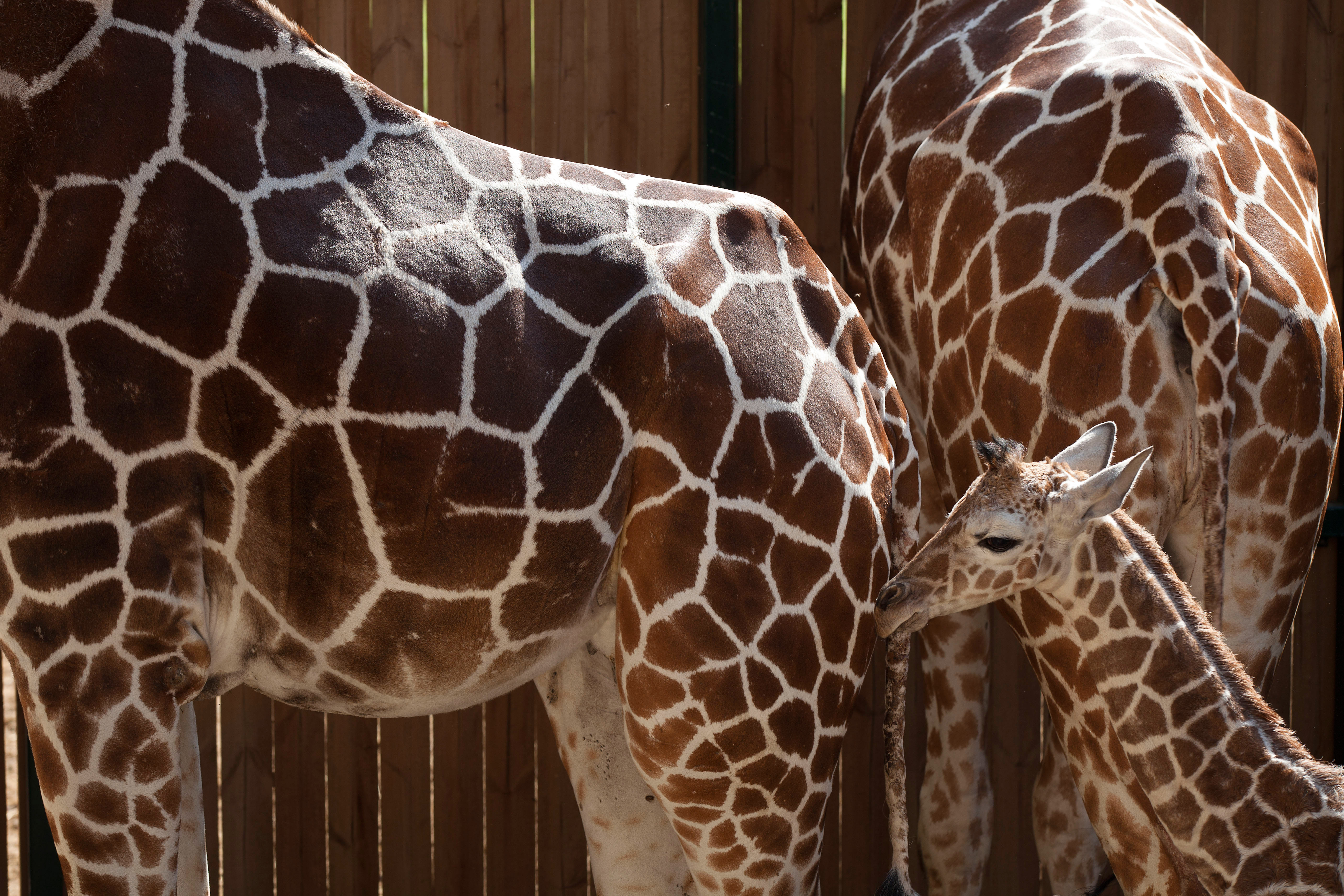 Giraffe babies are up to six feet tall and 150 pounds when they are born.
