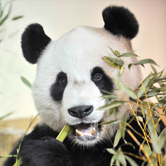 Photos of Giant Pandas at Edinburgh Zoo