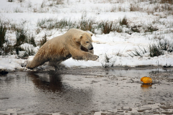 A Chilly Reception For a Polar Bear Birthday Party