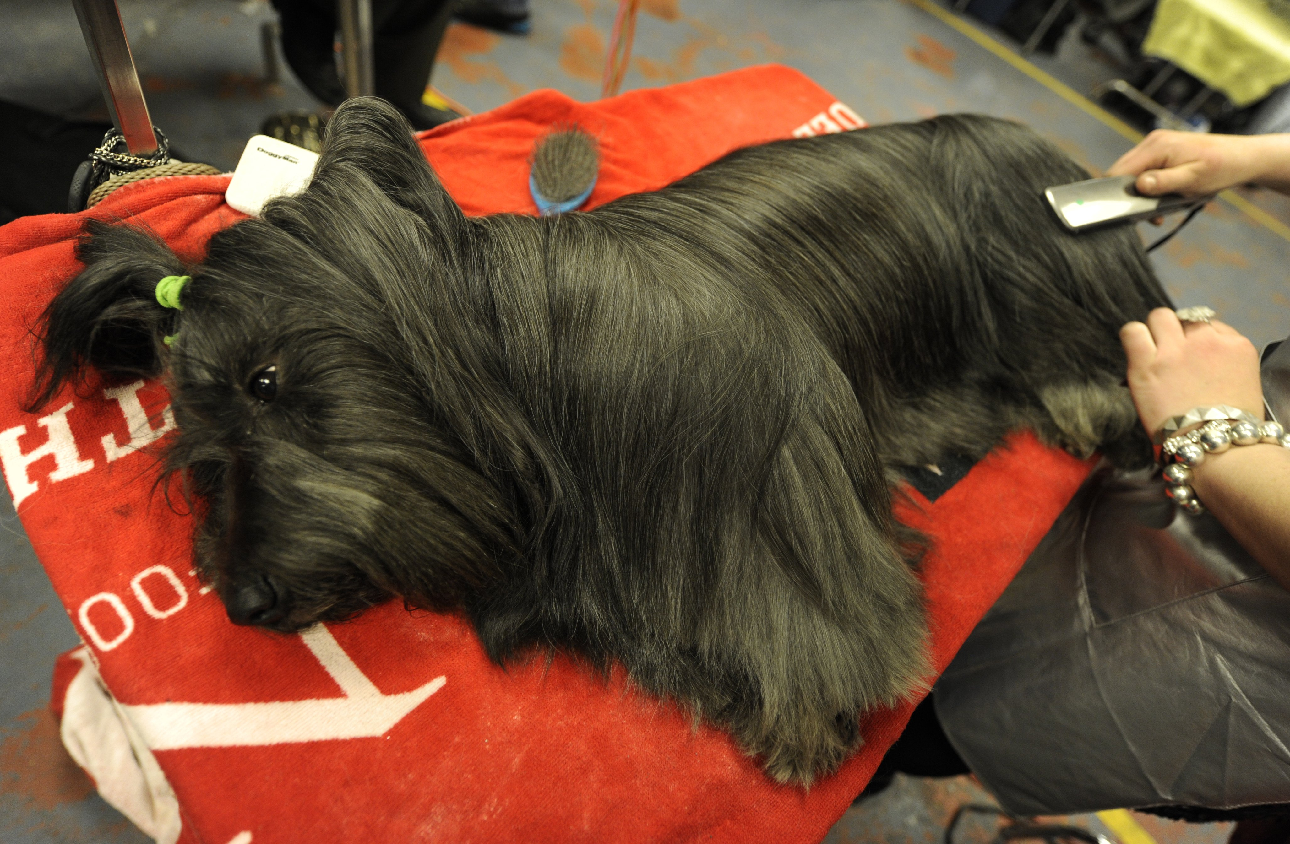 Dillon, the Sealyham Terrier, enjoys the grooming session.