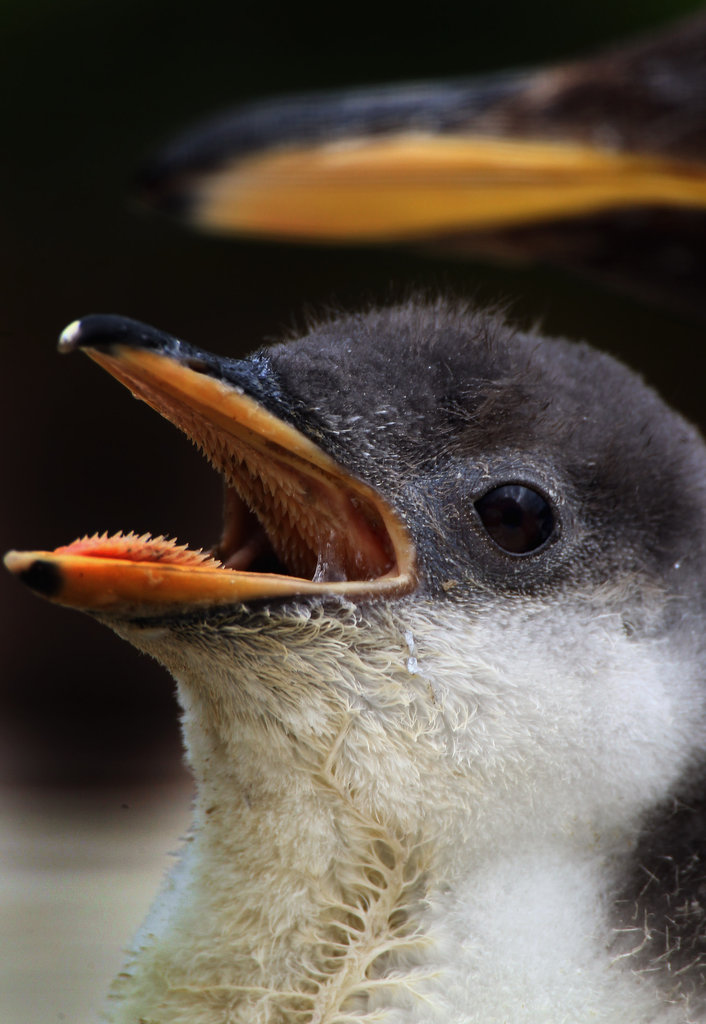 A gentoo penguin chick is hungry for Spring weather! Source: Getty