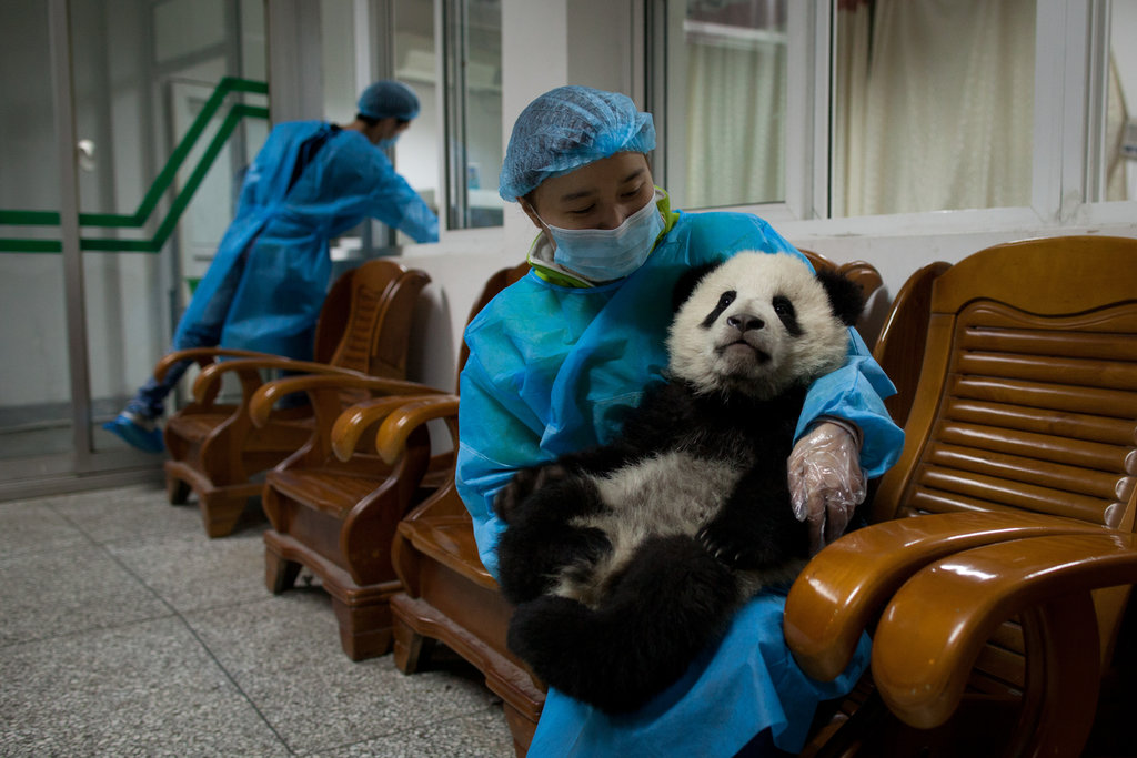 A 4-month-old cub gets special treatment at the Panda Research Base in Chengdu, China.