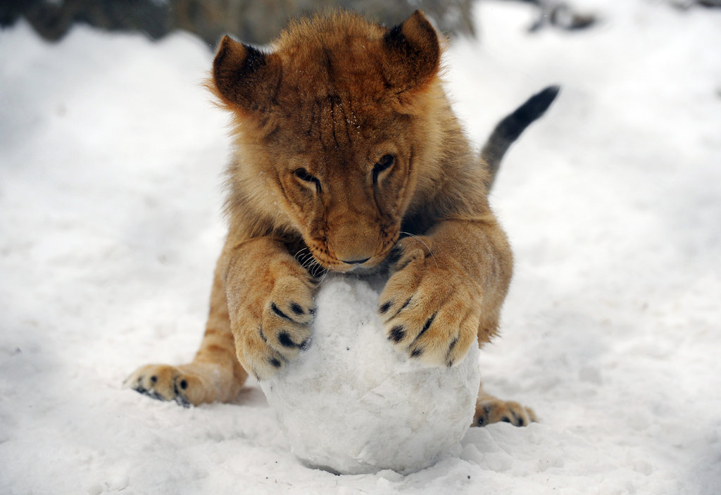 At the Belgrade Zoo, this cub seems unfazed by the chilly temperatures, thanks to one very large snowball.