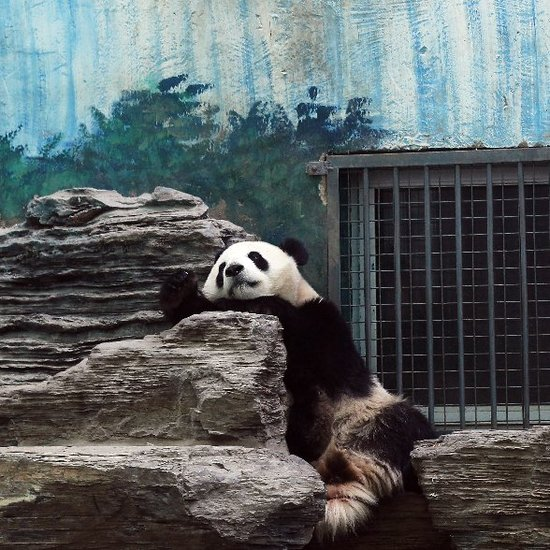 Giant Pandas Playing at Beijing Zoo Pictures