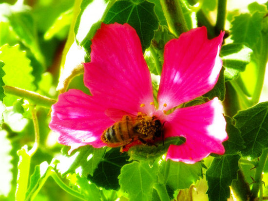 pollen and the  bee