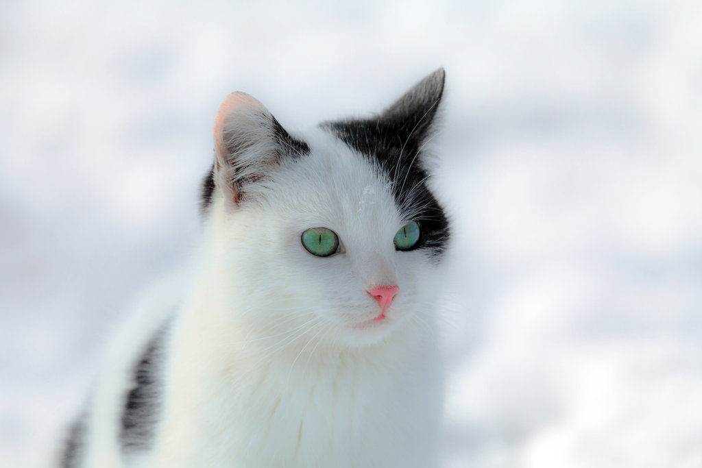 If it weren't for this cat's black spots and startling green eyes, he would have easily blended in with the snow.