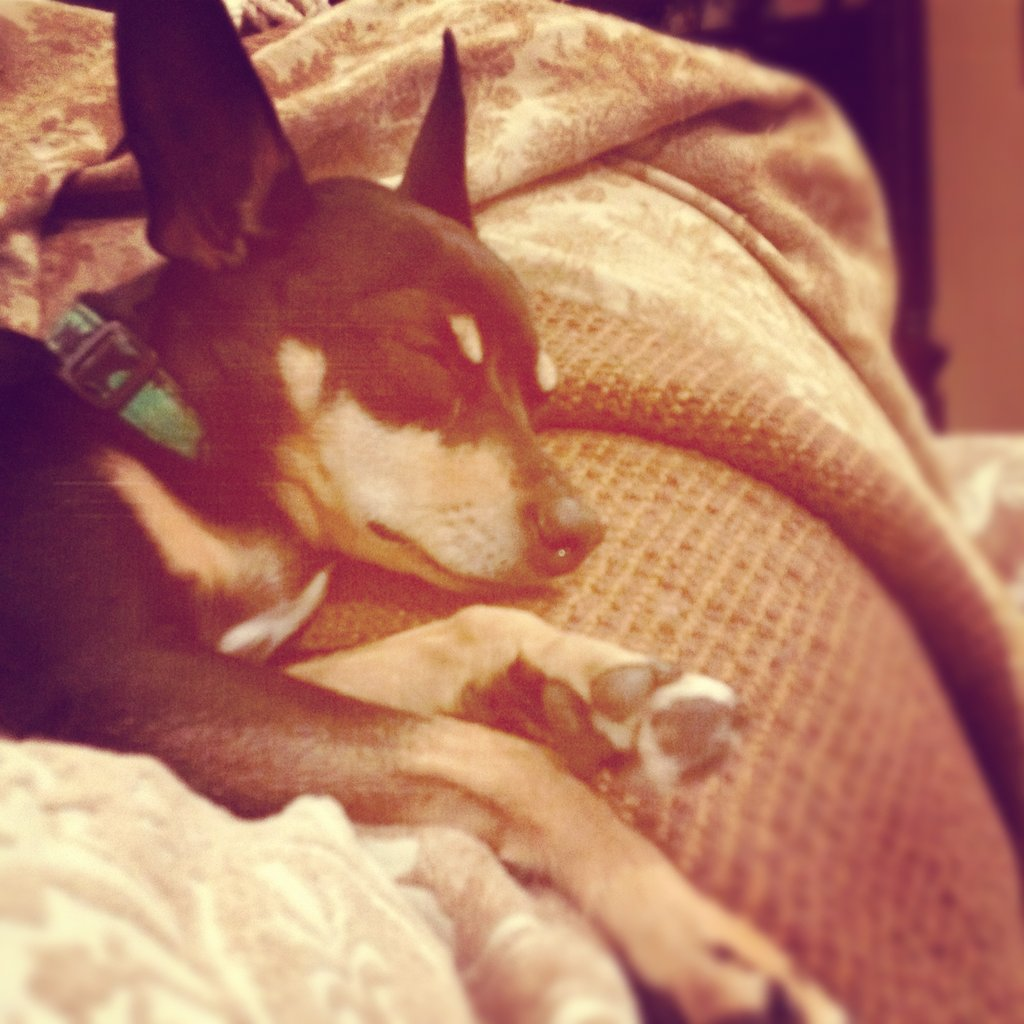 Editorial Assistant Emily Bibb shared an Instagram of her Rat Terrier, Roxy, looking cozy and sleepy.