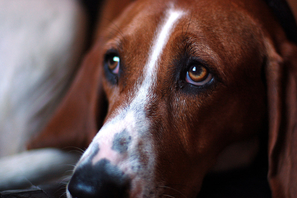 Treeing Walker Coonhound: Smart Pup