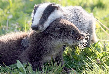 Badger does care! At least about his river otter friend. Source: Flickr user meredithfriedline