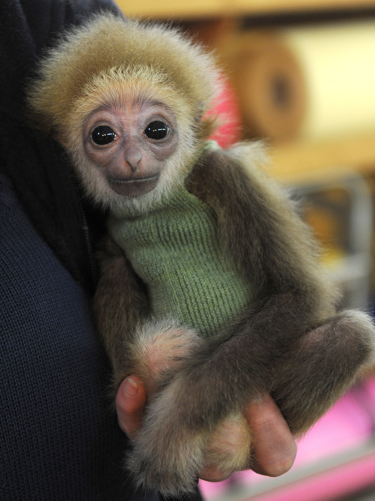 Even though their coat colors can range from black to brown to tan, the white-handed gibbon's hands are, well, white!