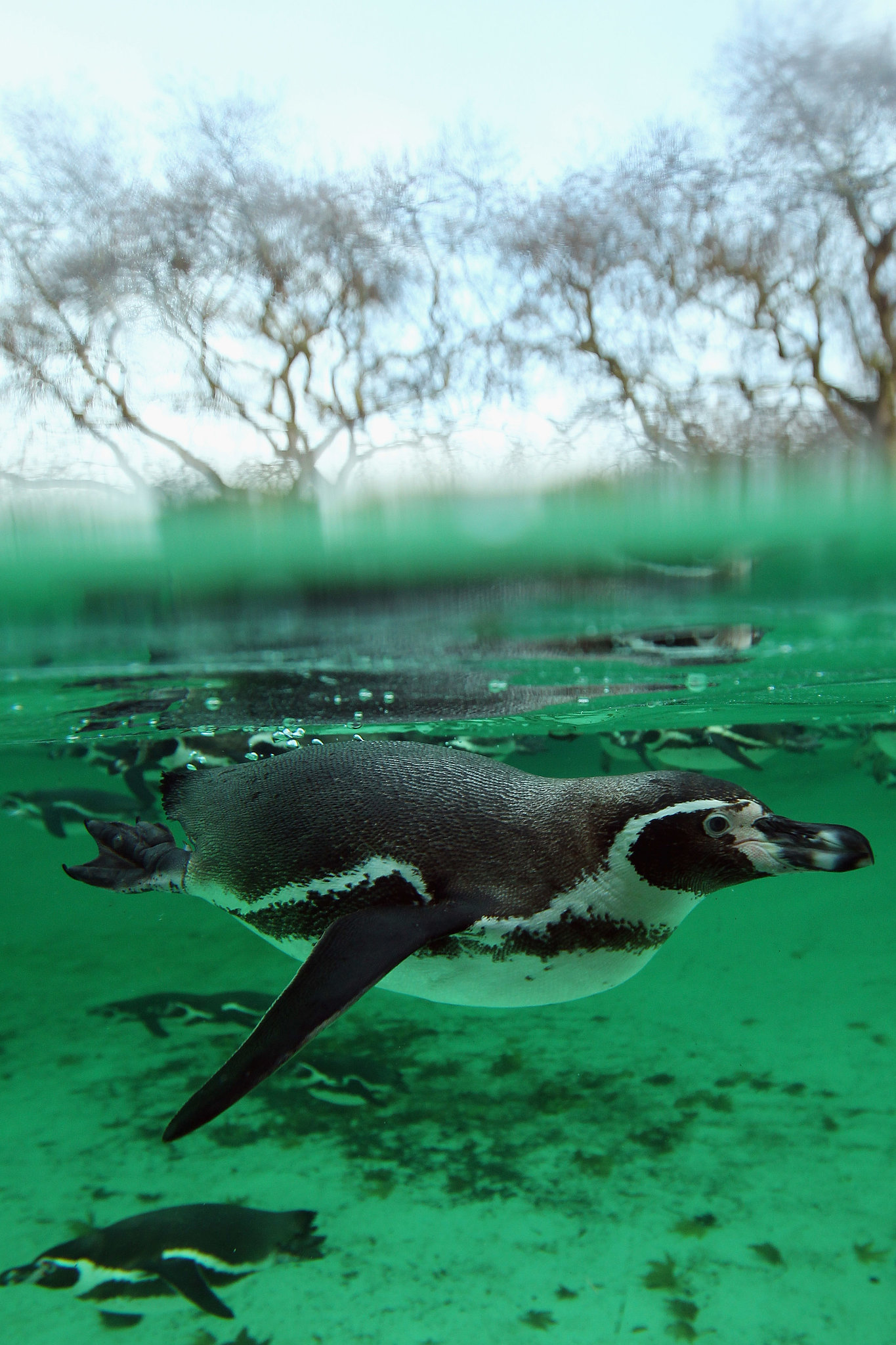 Native to Chile's Strait of Magellan, Magellanic penguins mate with the same partner year after year.
