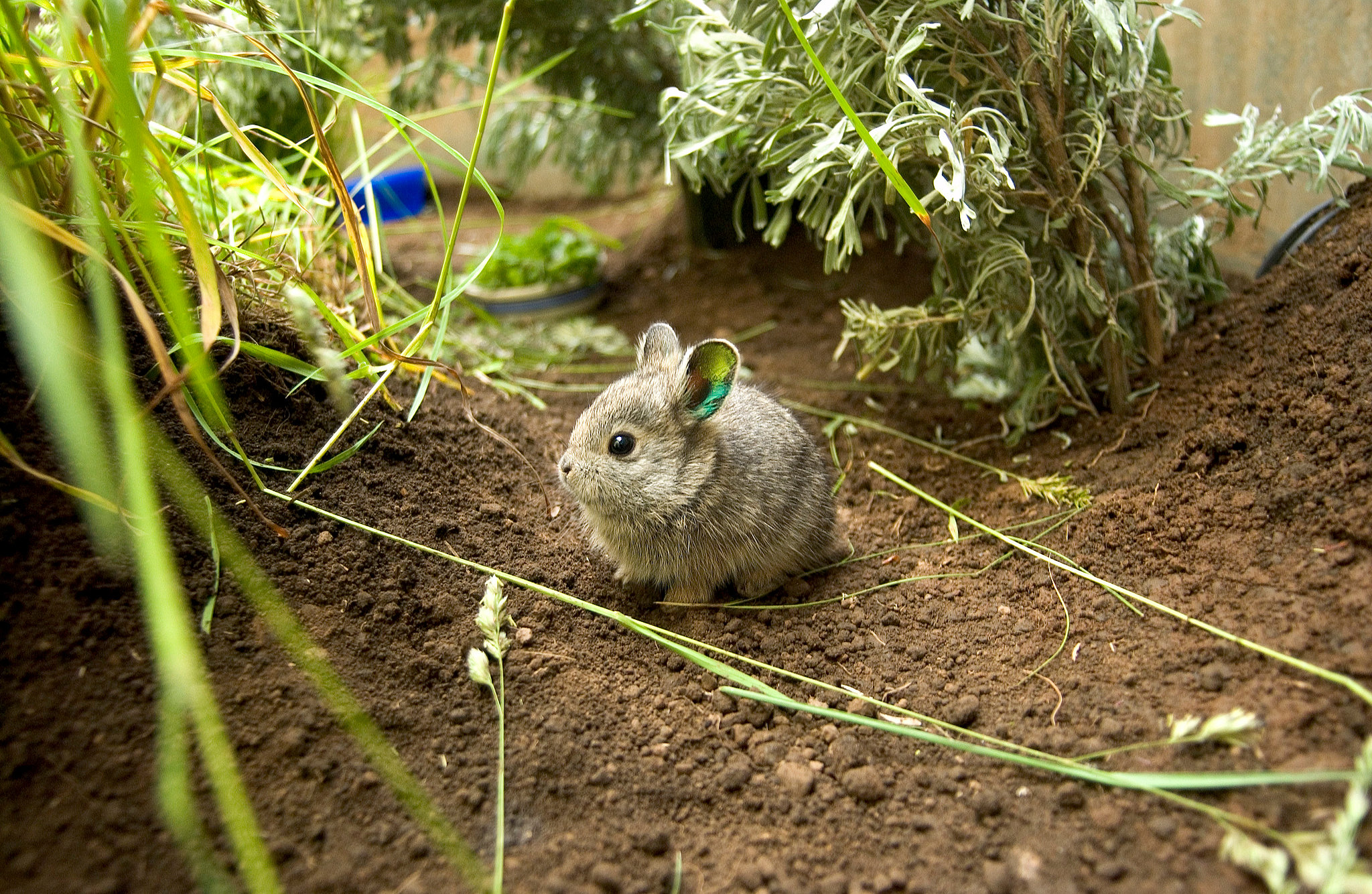Not only do they weigh in around 400 grams, but Columbia Basin Pygmy Rabbits are also about the length of a pencil!