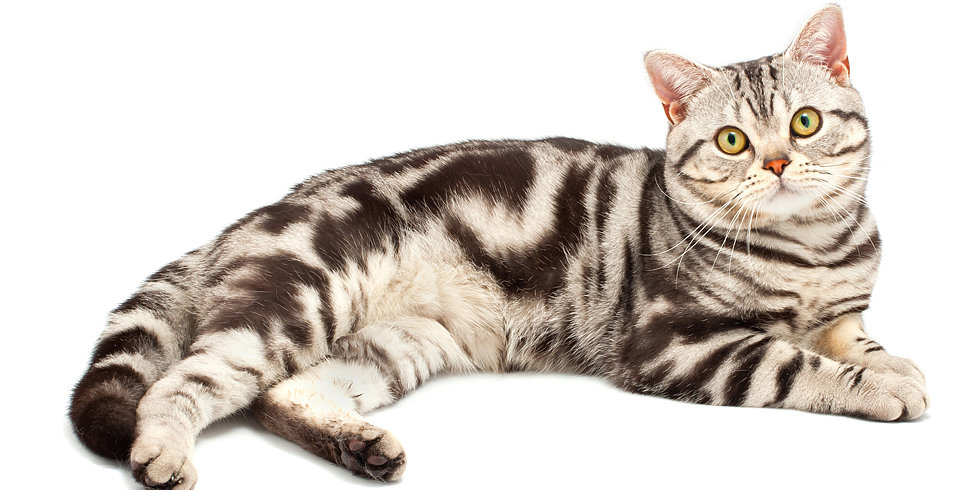 What Do You Know About American Shorthair Cats?