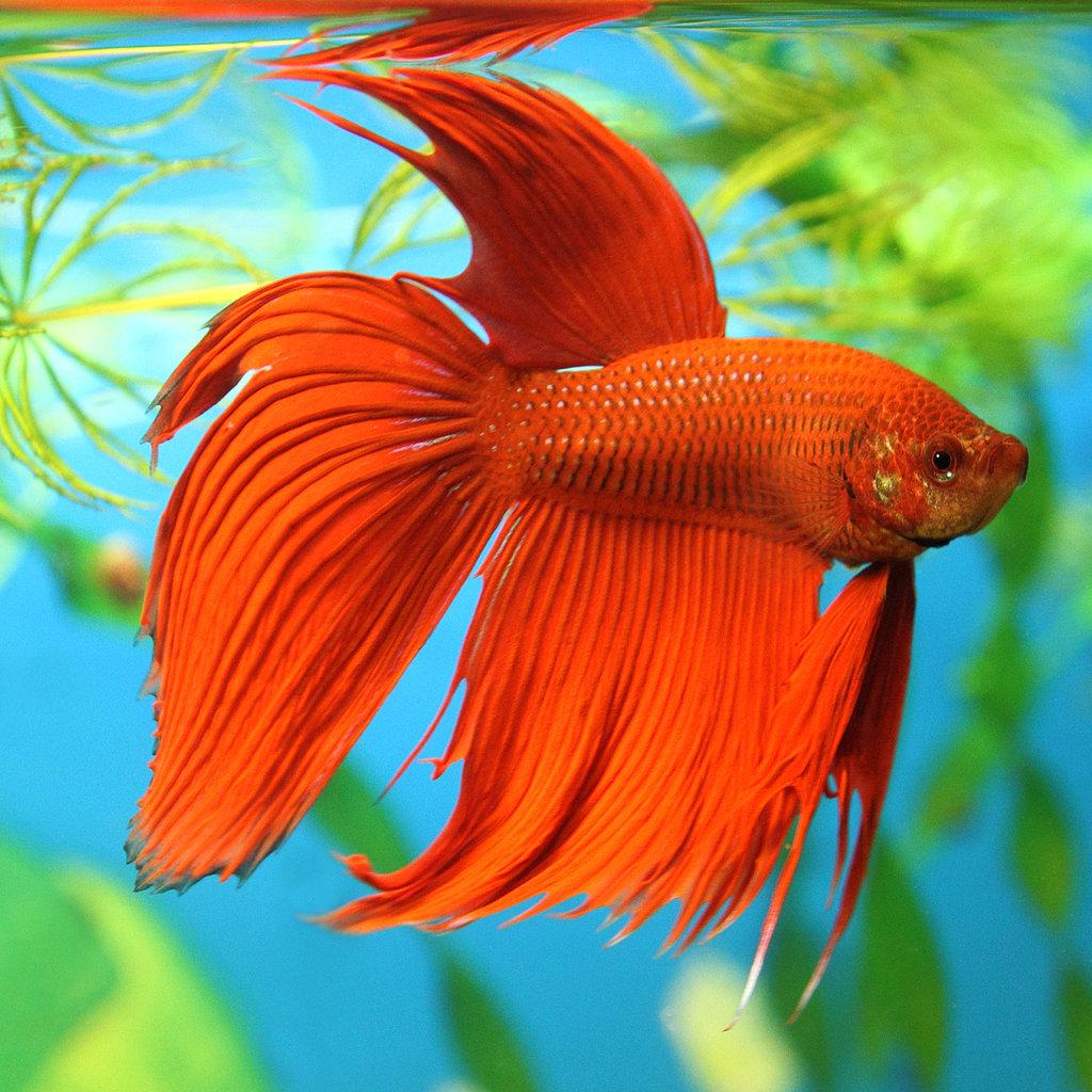Betta fish facts popsugar pets for Red betta fish