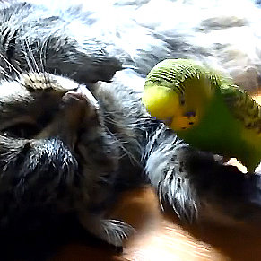 Sleeping Cat and Parakeet I Video