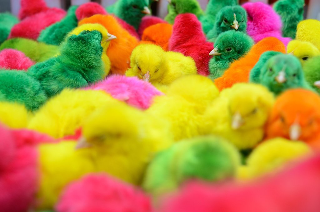 Chicks were dyed with different colors and sold in the Philippines for the Chinese New Year.