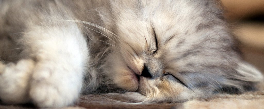 What Do You Know About Persian Cats?