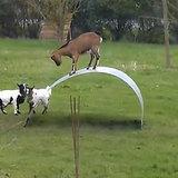 Goats Balancing | Video