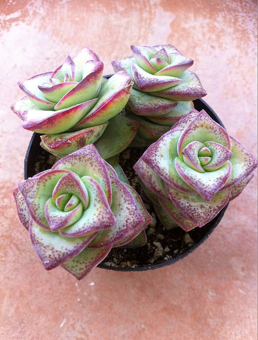 How incredible is the 3D effect of these flower-like succulents ($7)?