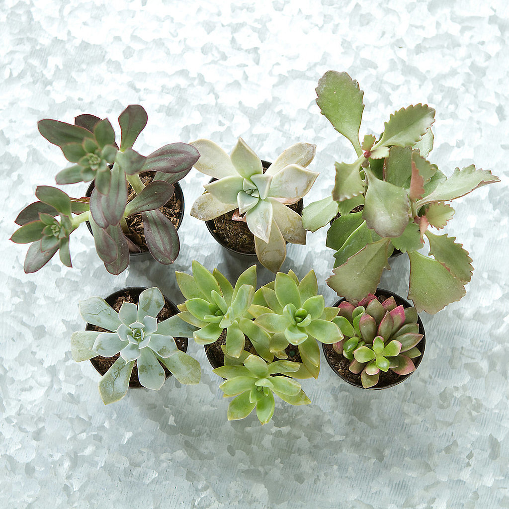This special set of six succulents ($45) offers a variety of textures and colors. Score!