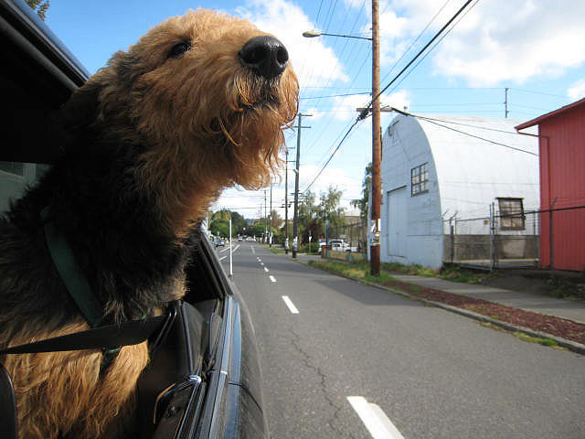 Dogs With Their Heads Out Car Windows