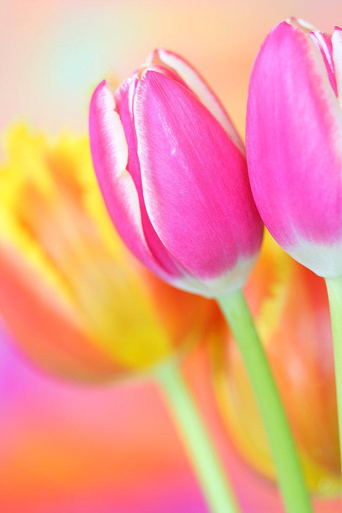 Tulip Bulbs