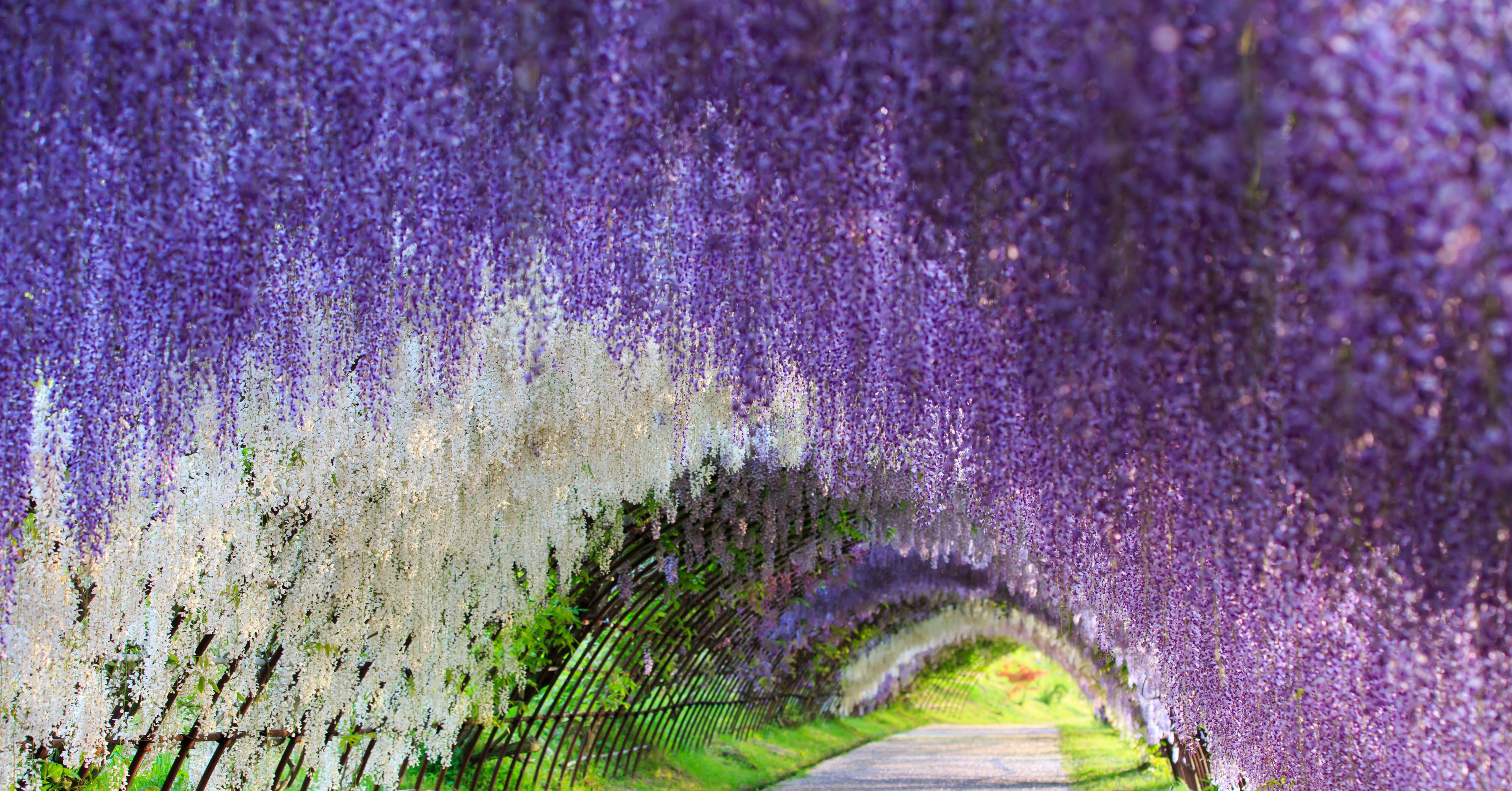 Wisteria flower tunnel japan 83 unreal places you for The wisteria