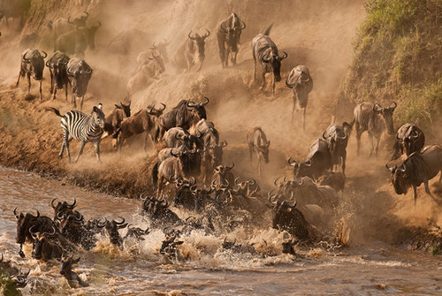 See the Wildebeest Crossing the Mara River in Kenya