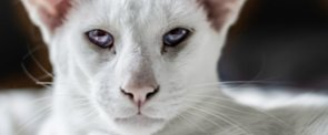 Pretty Kitty: Fun Facts About Siamese Cats