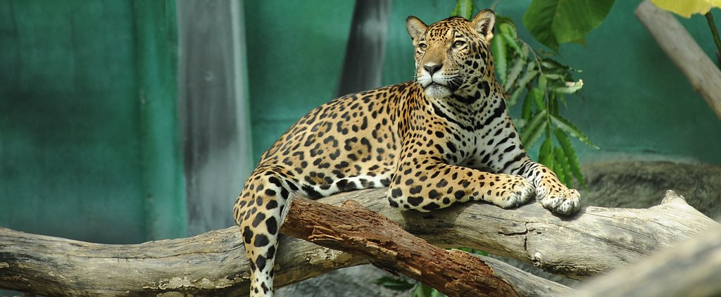 3-Year-Old in Critical Condition After Falling Into Zoo's Jaguar Exhibit