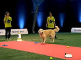 Golden Retriever Fails Agility Test, Wins All the Hearts