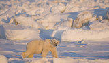 Polar Bear Numbers Down 40 Percent in Parts of Arctic