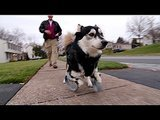 Dog Amazingly Walks Again