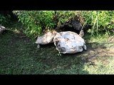 Tortoise Helps Struggling Friend Get Back on His Feet
