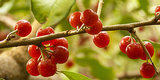Eat The Enemy: How Eating Autumn Berries Can Help The Environment AND The Fight Against Cancer