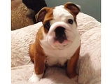 Bulldog Puppy Discovers the Joy of Bouncing on the Bed