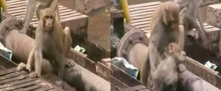 This Monkey Saved His Friend's Life, and It's Totally Amazing
