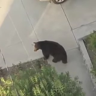 Guy Walks Into Bear While Texting