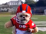 Munchkin the Dog Suits Up for the Super Bowl (VIDEO)