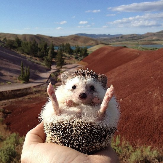 Biddy the Hedgehog Has Traveled More Places Than You